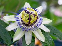 Passionfruit Flower Royalty Free Stock Photo
