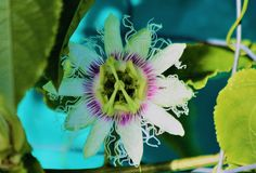 Passionfruit Flower Stock Photography