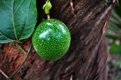 Passionfruit green Royalty Free Stock Photography