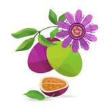 Passionfruit und Blumenvektorgegenstände Stockfotografie