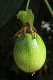 Passionfruit verde Foto de Stock Royalty Free