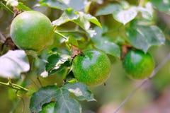 Passionfrukt Arkivbilder
