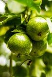 Passionfrukt Royaltyfri Bild