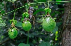 Passionfrukt på träd Arkivbild