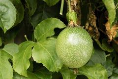 Passionfrukt på träd Royaltyfri Fotografi
