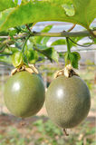 Passionfrukt på vinrankan royaltyfria foton