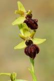 Passionis Ophrys Стоковые Фотографии RF