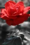 passionred Royaltyfri Foto