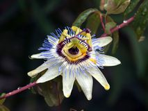 Passions/Maracuja bloom. Detail admission a passion flower with water drops Royalty Free Stock Photography