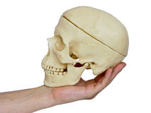 Passions on Shakespeare. The image of the hand holding a skull on a homogeneous background Stock Image