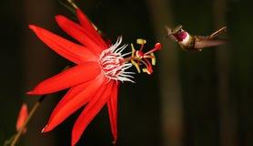 Passionsblume coccinea mit Kolibri stockbild