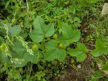 Passionsblume foetida- stinkende Leidenschaftsblume, Liebe-in-einnebel, Betriebsknall Kriechenrebe von Familie Passifloraceae lizenzfreies stockfoto