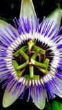 Passionsblume, Nahaufnahme einer schönen Passionsblume lizenzfreies stockbild