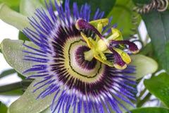Passionsblumenpassionsblume mit Tauwassertropfen große schöne Blume Lizenzfreie Stockfotos