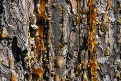 Passo ambarino na casca de um tronco áspero marrom do pinho Imagens de Stock