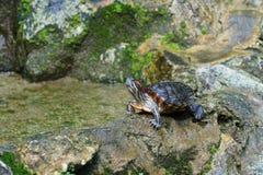 Passo da tartaruga na rocha fotografia de stock