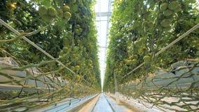 Passway通过充分温室生长蕃茄 股票录像