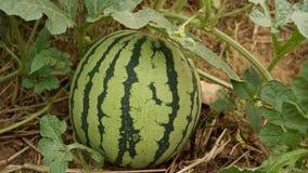 Pastèque au foyer de jardin sur le fruit Images stock