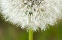 Past bloom dandelion detail Stock Images