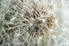 Past bloom dandelion detail Royalty Free Stock Photos