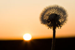 Past blossom dandelion and sundown Royalty Free Stock Photo