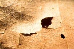 Pasta di cellulosa e foro sulle foglie secche Immagine Stock