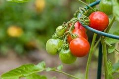 Pasta lub śliwkowi pomidory w ogródzie Fotografia Stock