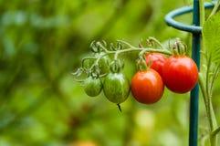 Pasta lub śliwkowi pomidory w ogródzie Obrazy Stock