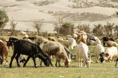 Pastagem da colheita das cabras Foto de Stock