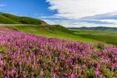 Pastagem de Longriba no verão Imagem de Stock