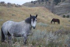 Pastagem exterior dos cavalos do cavalo selvagem Imagens de Stock