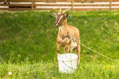Pastagem fender-hoofed doméstica no campo imagens de stock royalty free