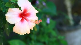 Pastal pink Chinese hibiscus flower in the garden stock video