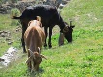 Pastando cabras Fotos de Stock