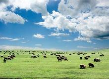 Pastando carneiros foto de stock royalty free