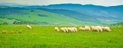 Pastando carneiros Imagem de Stock