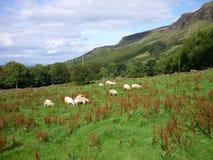 Pastando carneiros Fotografia de Stock Royalty Free