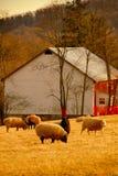 Pastando carneiros imagens de stock royalty free