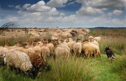 Pastando carneiros Fotos de Stock Royalty Free