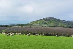 Pastando carneiros na terra de exploração agrícola perto dos reis Praia, Sul da Austrália PA Imagens de Stock Royalty Free