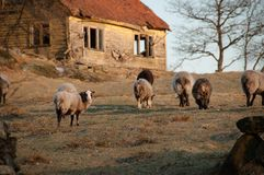 Pastando carneiros no campo Imagem de Stock