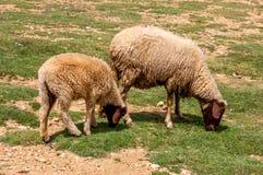 Pastando carneiros no campo verde Fotografia de Stock
