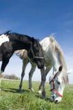 Pastando cavalos Imagens de Stock