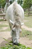 Pastando cavalos Fotos de Stock