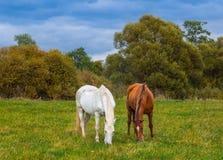 Pastando cavalos Imagem de Stock Royalty Free