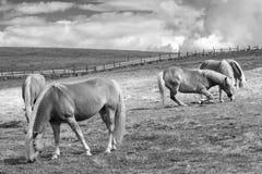 Pastando cavalos Fotos de Stock Royalty Free