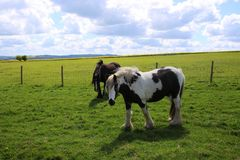 Pastando cavalos Imagem de Stock