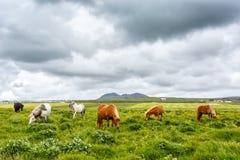 Pastando cavalos islandêses na grama Imagem de Stock