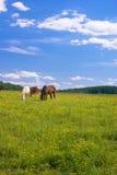 Pastando cavalos no campo dos botões de ouro Imagens de Stock Royalty Free