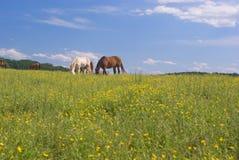 Pastando cavalos no campo dos botões de ouro Fotografia de Stock Royalty Free